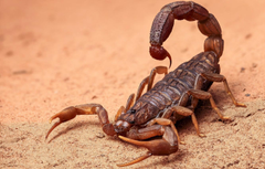 Wallpapers sand spider Scorpio image for desktop section