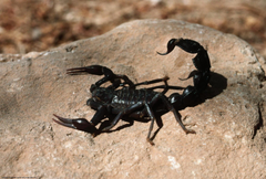 Image Insects Scorpions Animals