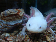 Axolotl Wallpapers