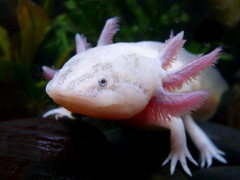 Android Phones Wallpapers Android Wallpapers Axolotl