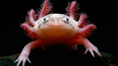 Axolotl Wallpapers HD