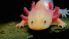 Axolotl wallpapers by T1000