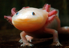 The axolotl a fully aquatic salamander that spends its whole life