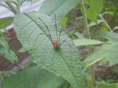 picture daddy long leg harvestman spider leaf