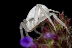 Misumena vatia Crab Spider HD Wallpapers