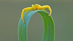 Misumena vatia goldenrod crab spider