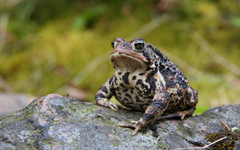 American Toad HD Wallpapers