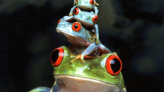 Red Eyed Tree Frog Wallpapers