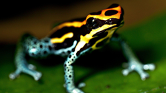 yellow blue poison amphibian frog wide hd wallpapers