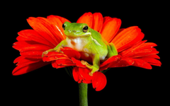 Frogs Wallpapers