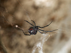 This virus steals DNA from black widow spider venom to attack its