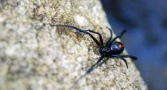 MObugs Northern Black Widow