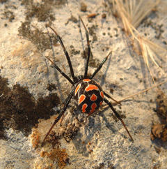 Black Widow Spider on Gray Cement Wall Stock Photo