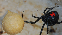 Insects black widow wallpapers