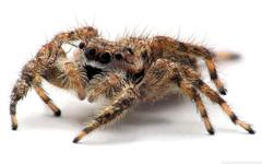 Tarantula Spider Close Up HD desktop wallpapers High Definition
