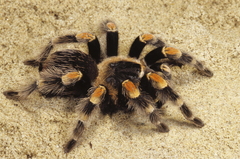 Wallpapers Spider Tarantula Sand HD Backgrounds