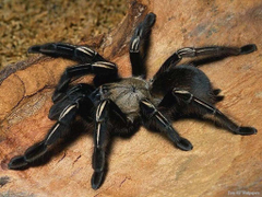 Insect and spider tarantula wallpapers and image
