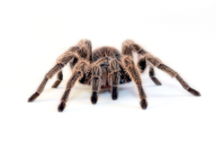 spiders simple background tarantula white backgrounds Wallpapers