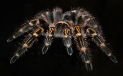 black and yellow tarantula image