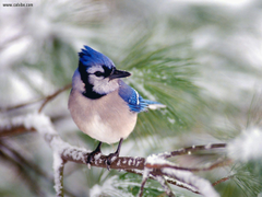Wallpapers Collections blue jay backgrounds