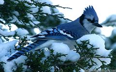 Blue Jay Winter Birds Wallpapers