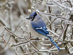 Image For Blue Jay Bird Wallpapers