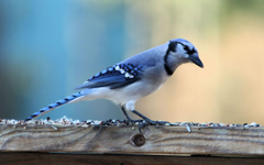 Cute Blue Jay Bird Wide Wallpapers