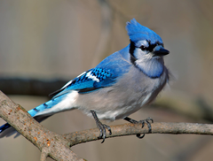 Blue Jays Bird HD Wallpapers