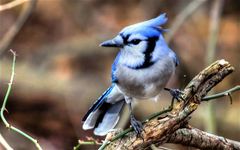 Animals For Blue Jay Bird Wallpapers