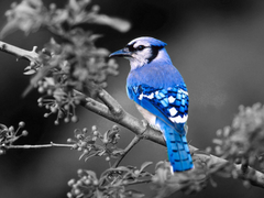 Image For Bluejay Bird Pictures