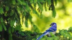 HD Blue Jay In The Pine Tree Wallpapers