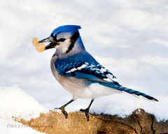 Wild life Blue jay birds wallpapers