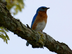 Funny Image Collection Blue Kingfisher Bird Wallpapers for Windows