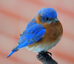 Eastern Bluebird Wallpapers