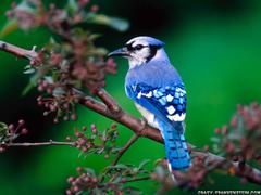 Wallpaper Birds Wallpaper Blue Bird Wallpaper Wallpapers Birds