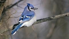 Bluebird Wallpapers