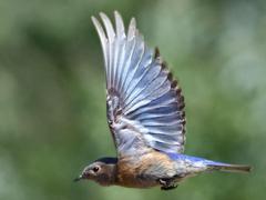 Bluebird widescreen wallpapers