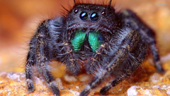 Jumping spider wallpapers
