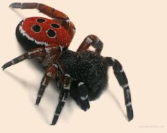 Ladybird Spider Photo