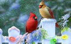 Cardinal Bird Wallpapers