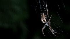 Cross Spider wallpapers