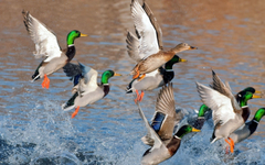 Mallard Duck Wallpapers