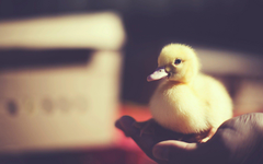 Bird Baby Duck Photo HD Wallpapers