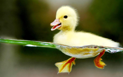 Duck Wallpapers For Laptops