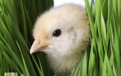 Cute Easter Day Chick Picture wallpapers Wallpapers