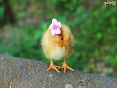 Baby Chicks Wallpapers