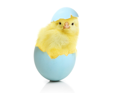 Chicken Eggs Animals egg easter chick baby wallpapers