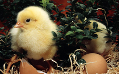 New Born Easter Day Chick Picture wallpapers Wallpapers