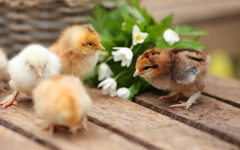wallpapers Chickens small birds spring cute