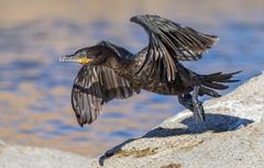 Wallpapers bird wings beak start cormorant image for